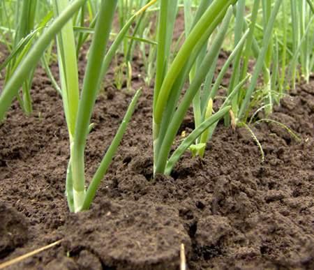 Выращиваем лук из чернушки: руководство к действию!