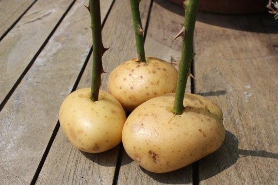 Полезные советы садоводу: натуральные стимуляторы образования корней.