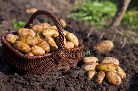Как просто добиться МЕГА УРОЖАЯ картофеля!