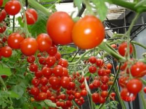Простые правила большого урожая помидор!
