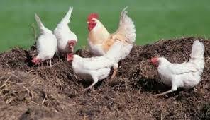 Как применяется куриный помет для удобрения огорода?