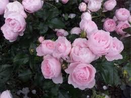 Розы без хлопот для вашего сада!