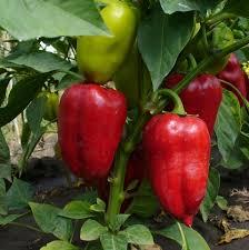 Основные ошибки выращивания сладкого перца (часть 1)