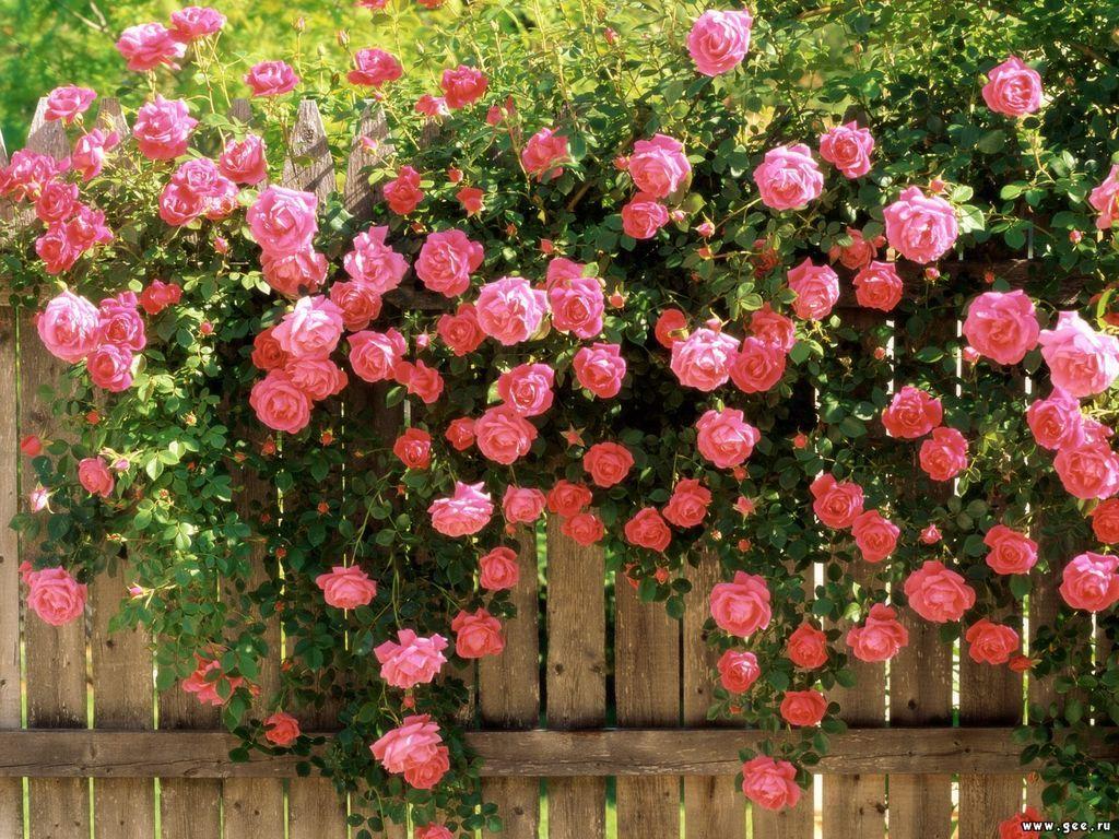 Как выделить побег шиповника на кусту розы?