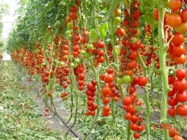 Памятка садовода-огородника: помидоры