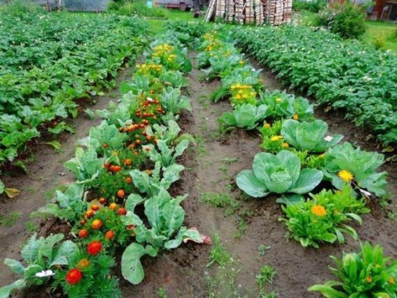 Дачные хитрости садоводов: какие растения нужно сажать вместе?