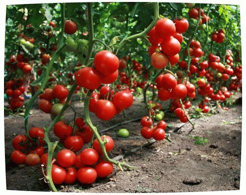 Необходимая подкормка для ваших томатов