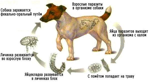 Как происходит заражение собак гельминтами