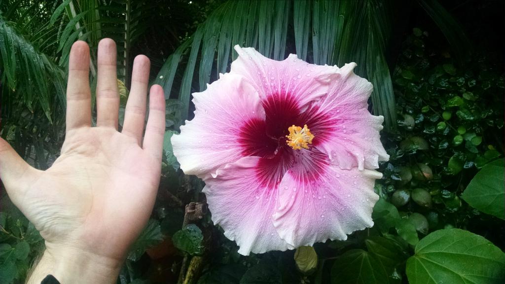 Крупный цветок с человеческую ладонь.