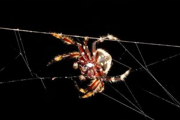 паук Дарвина