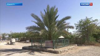 Израильские учёные вырастили финиковые пальмы из косточек, которым около двух тысяч лет